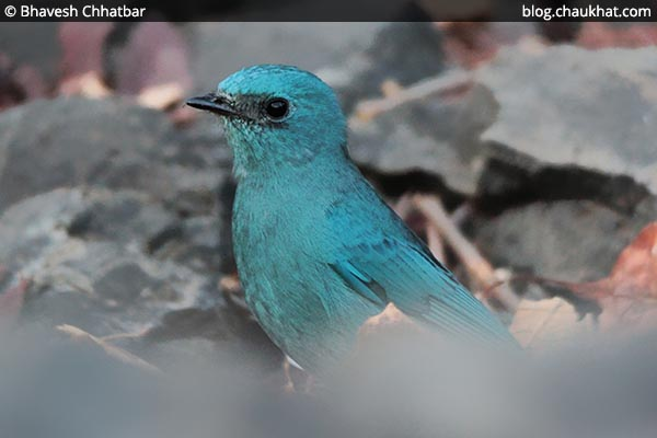 Verditer flycatcher [Eumyias thalassinus, Stoparola melanops, Eumyias thalassina]